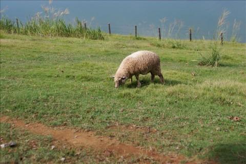 ポティロンの森の羊